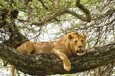 Lions and Manyara